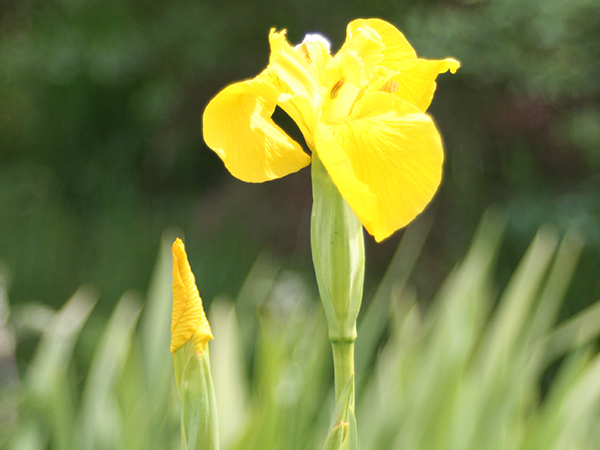 shilasdair-yarn-skye-iris-flower